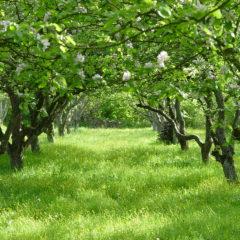 Jarní hnojení ovocných stromů a keřů