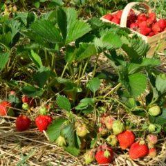 Pěstování jahod ? S hnojivy jednoznačně vyšší výnos