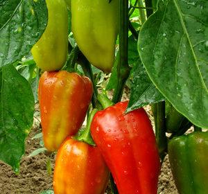 Hnojivo na papriky
