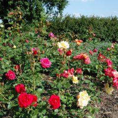 Jak na hnojení růží ?