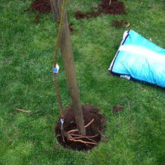 Hnojení ovocných stromů